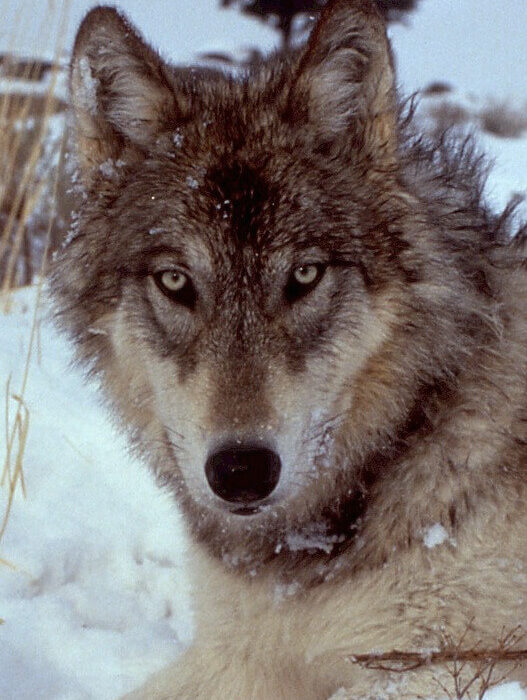wolf-518209_1280